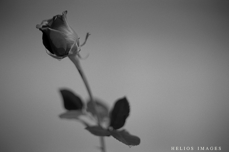 A rose poses for a portrait in Winchester Town Hall in Winchester, MA.