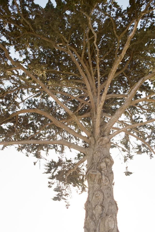 tree in cayucos ca